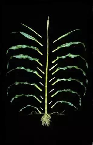 一棵玉米植株的成长过程