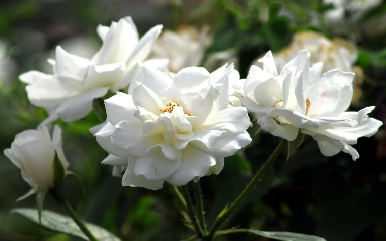 白蔷薇:纯洁的爱情