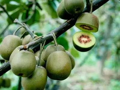 猕猴桃的品种