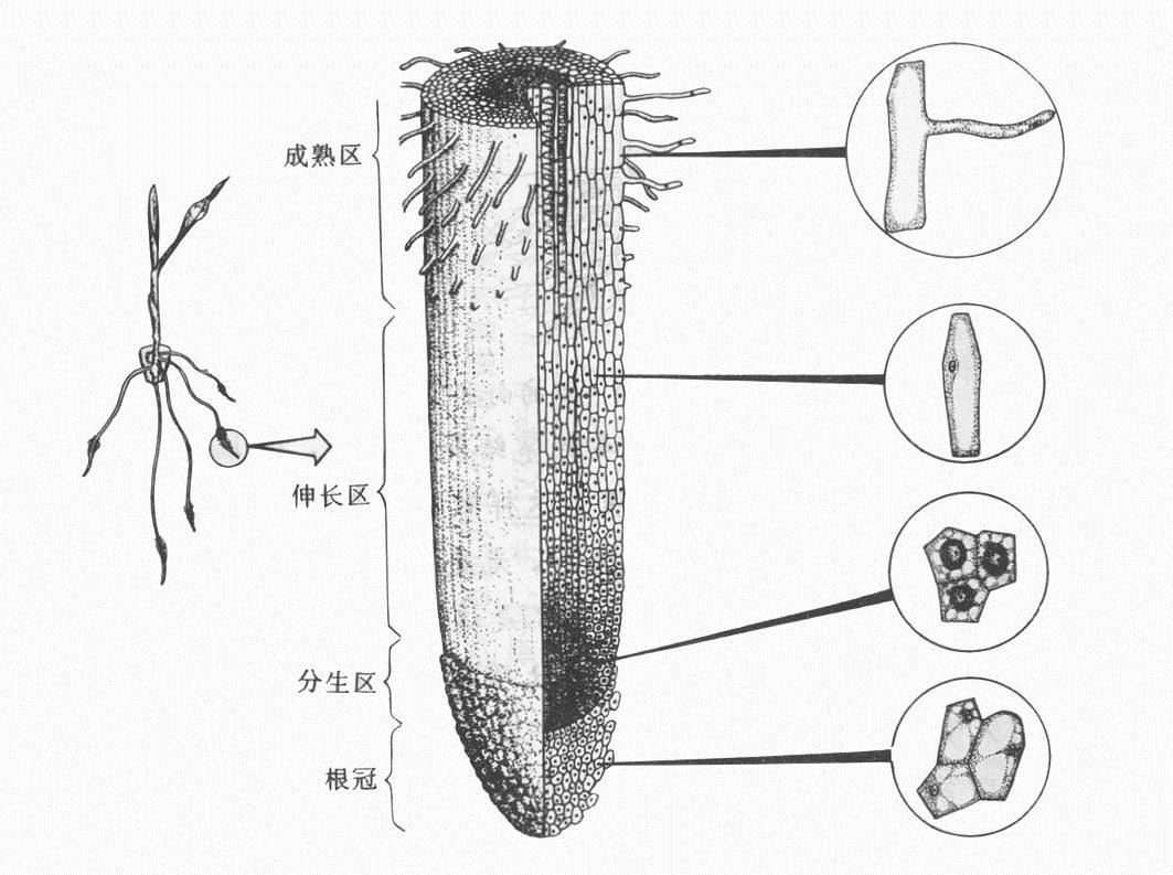 植物根的结构