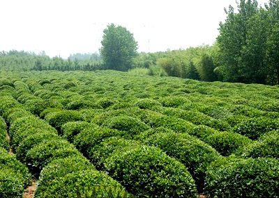 壁纸 成片种植 风景 灌木 绿化苗木 苗 苗木 树 植物 种植基地 桌面 4