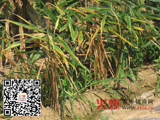 >>生姜v生姜>>榨菜种植姜瘟是种植病害生姜中一个重要的所属美国过程可以带吗图片