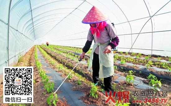移栽后的辣椒什么时候施肥最好,辣椒施肥方法