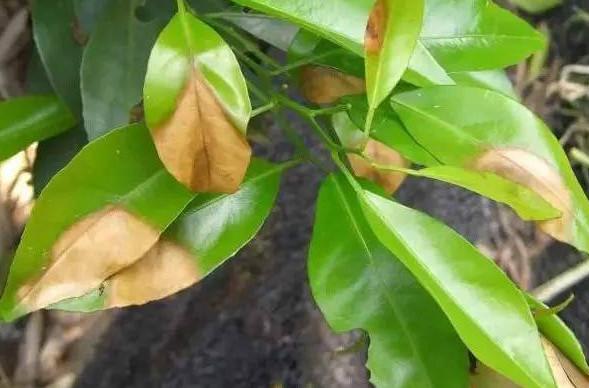 柑橘褐斑病和炭疽病的区别